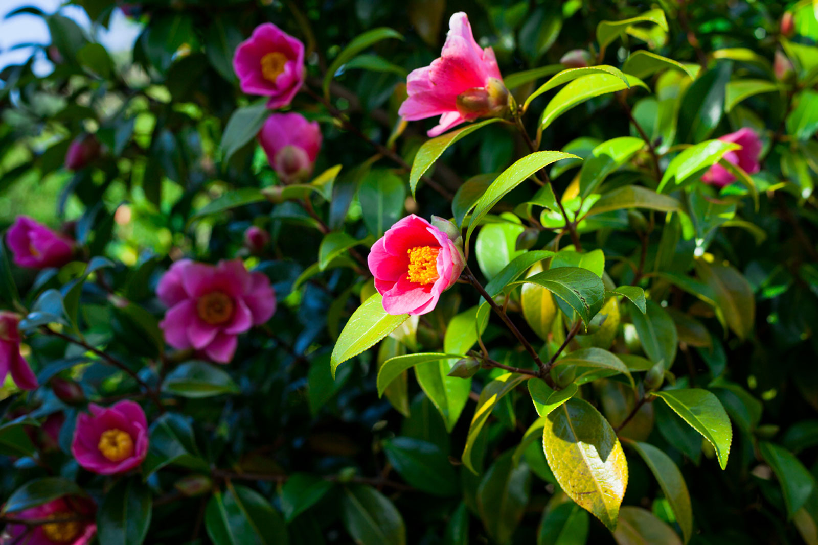Planting With Camellias Learn About Camellia Plant Companions