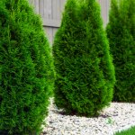 Fertilizer For Arborvitae How And When To Feed Arborvitae Trees