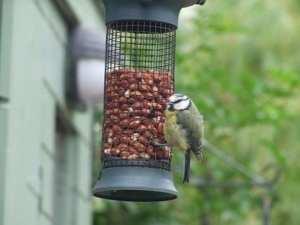 Bird feeders distract birds from eating you garden