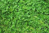 Pin Herniaria Glabra Green Carpet Rupturewort on Pinterest