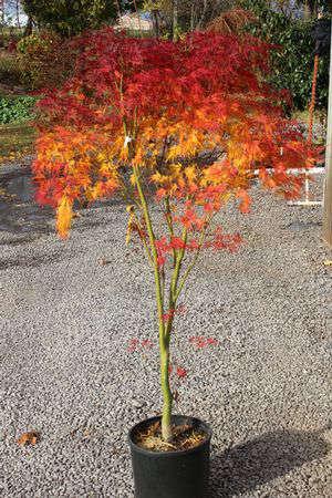 Japanese Maple Seiryu