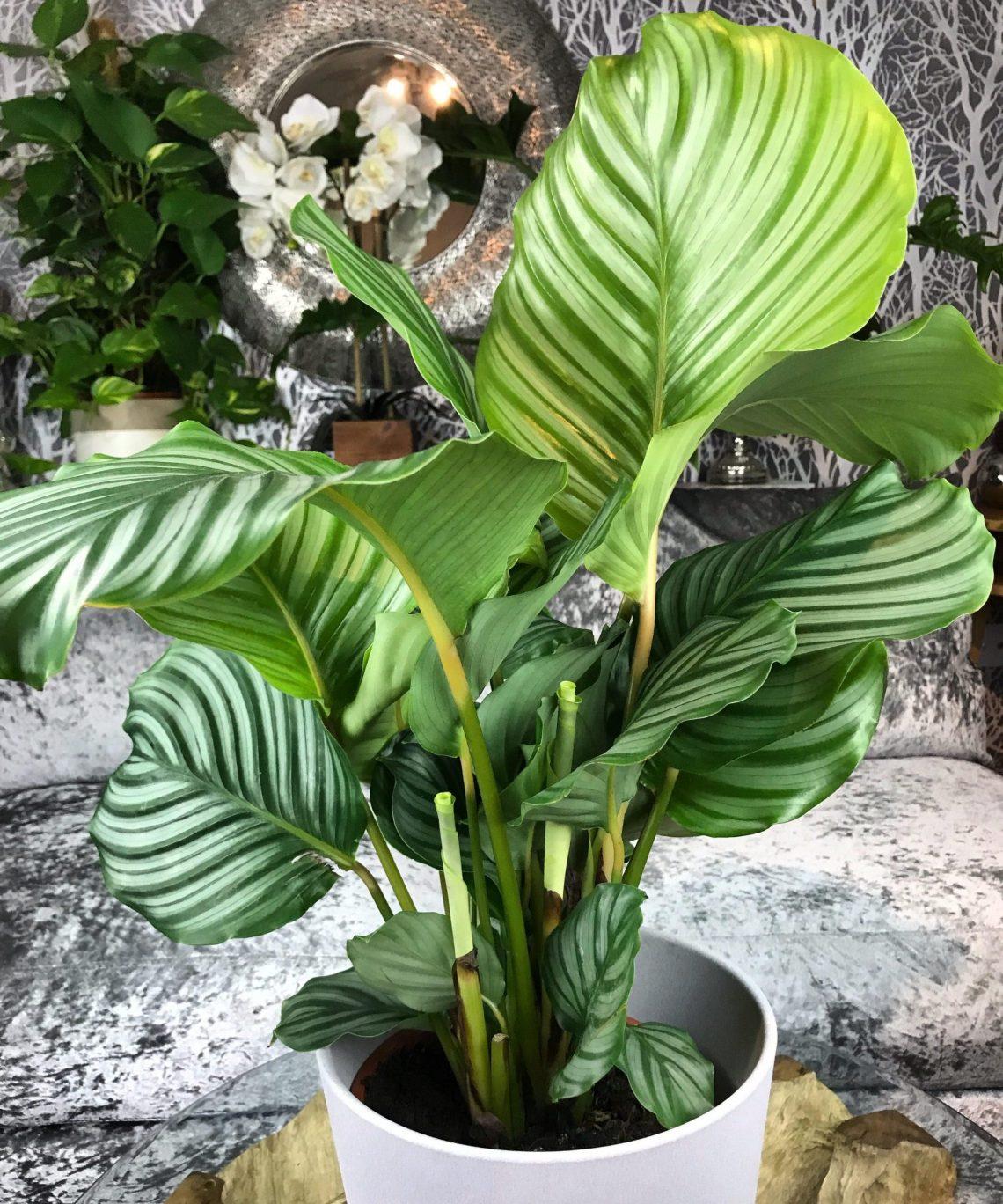 Caring For Calathea Orbifolia