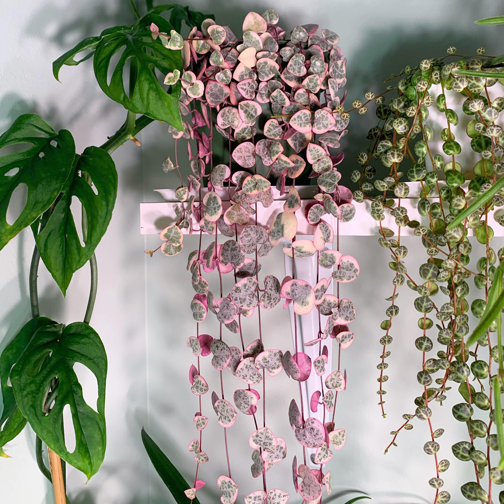String of Hearts | Ceropegia Wodii