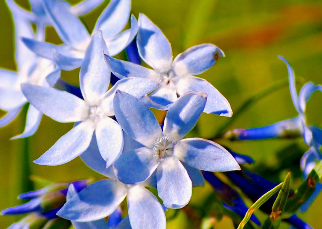 bluestar-flower