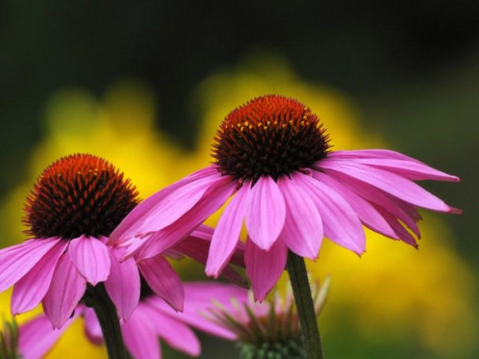 coneflower-echinacea-flower