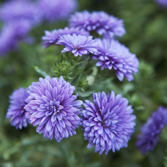 chrysanthemums-flower