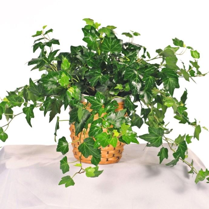 feng-shui-indoor-plants-6