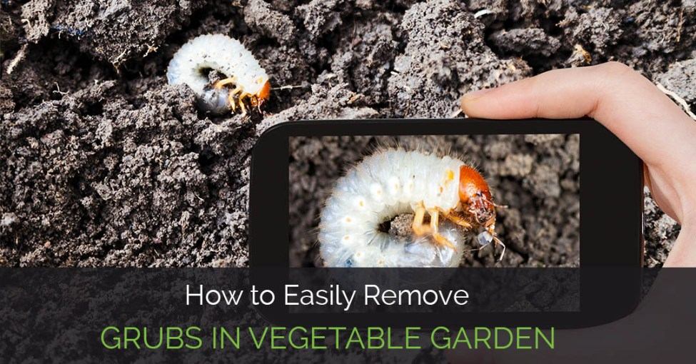 White Grubs in Vegetable Gardens | VCE Publications | Virginia Tech
