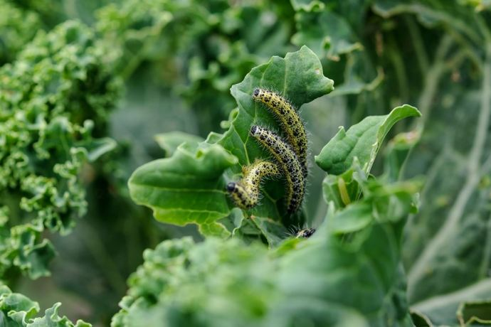 how-to-get-rid-of-caterpillars_1