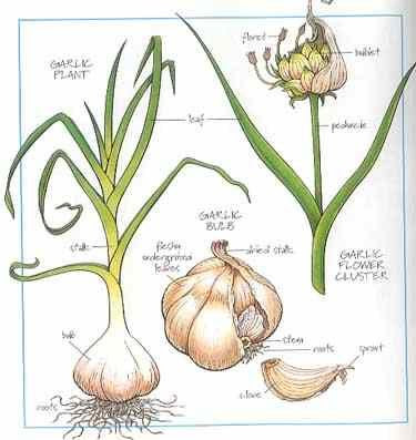how-to-grow-garlic-indoors_2