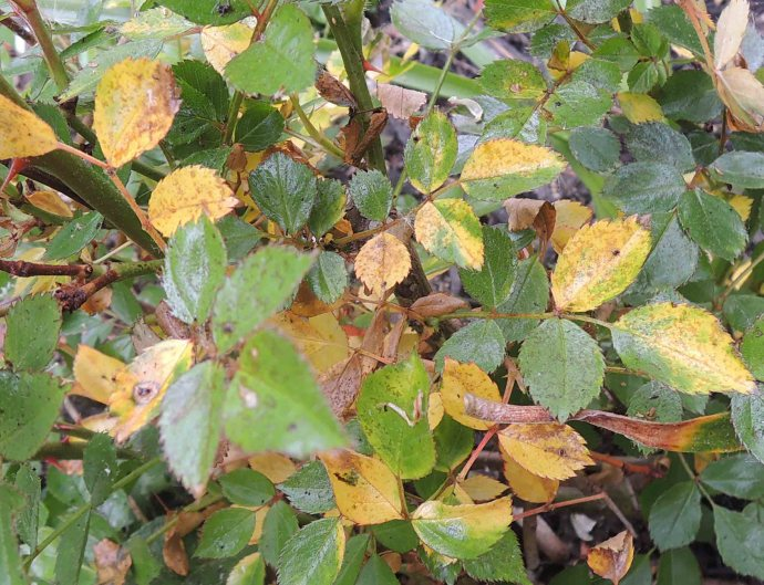 yellow-leaves-on-roses_1