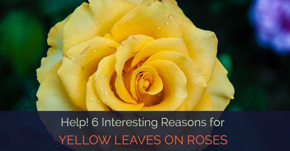 yellow-leaves-on-roses