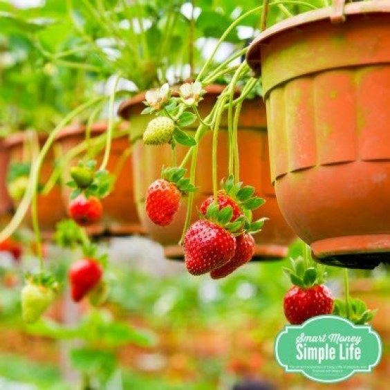 growing-strawberries-in-containers-1