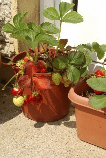 growing-strawberries-in-containers-2