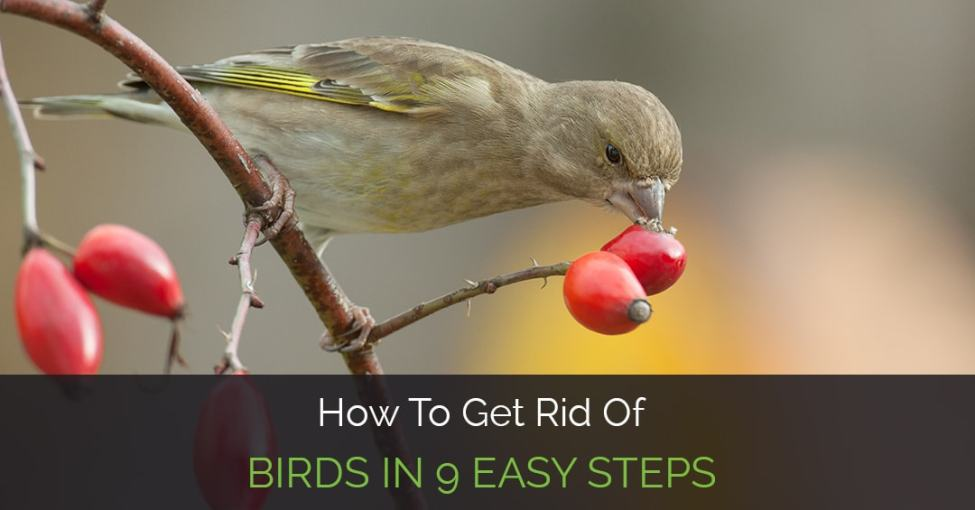 how-to-get-rid-of-birds