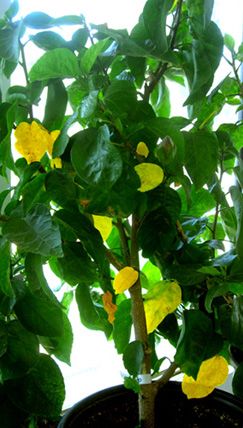 yellow-leaves-on-hibiscus-8