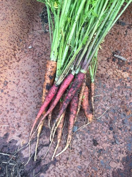 Bundle of freshly harvested carrots