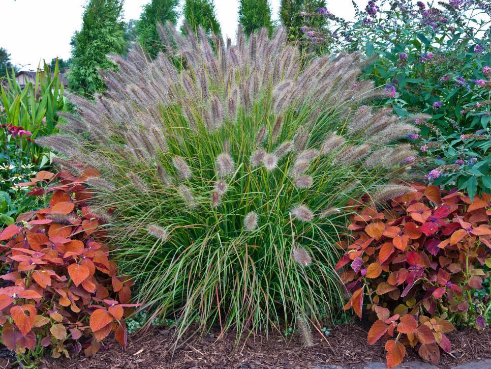 maiden-grass-companion