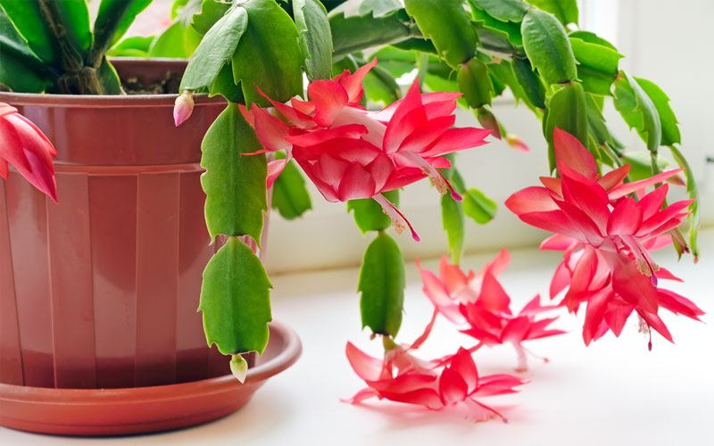 christmas-cactus-lighting