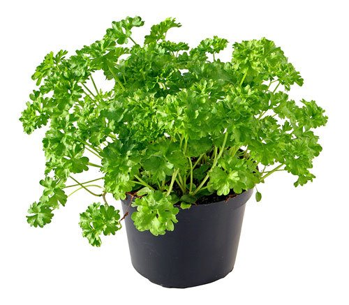 Parsley-Pot