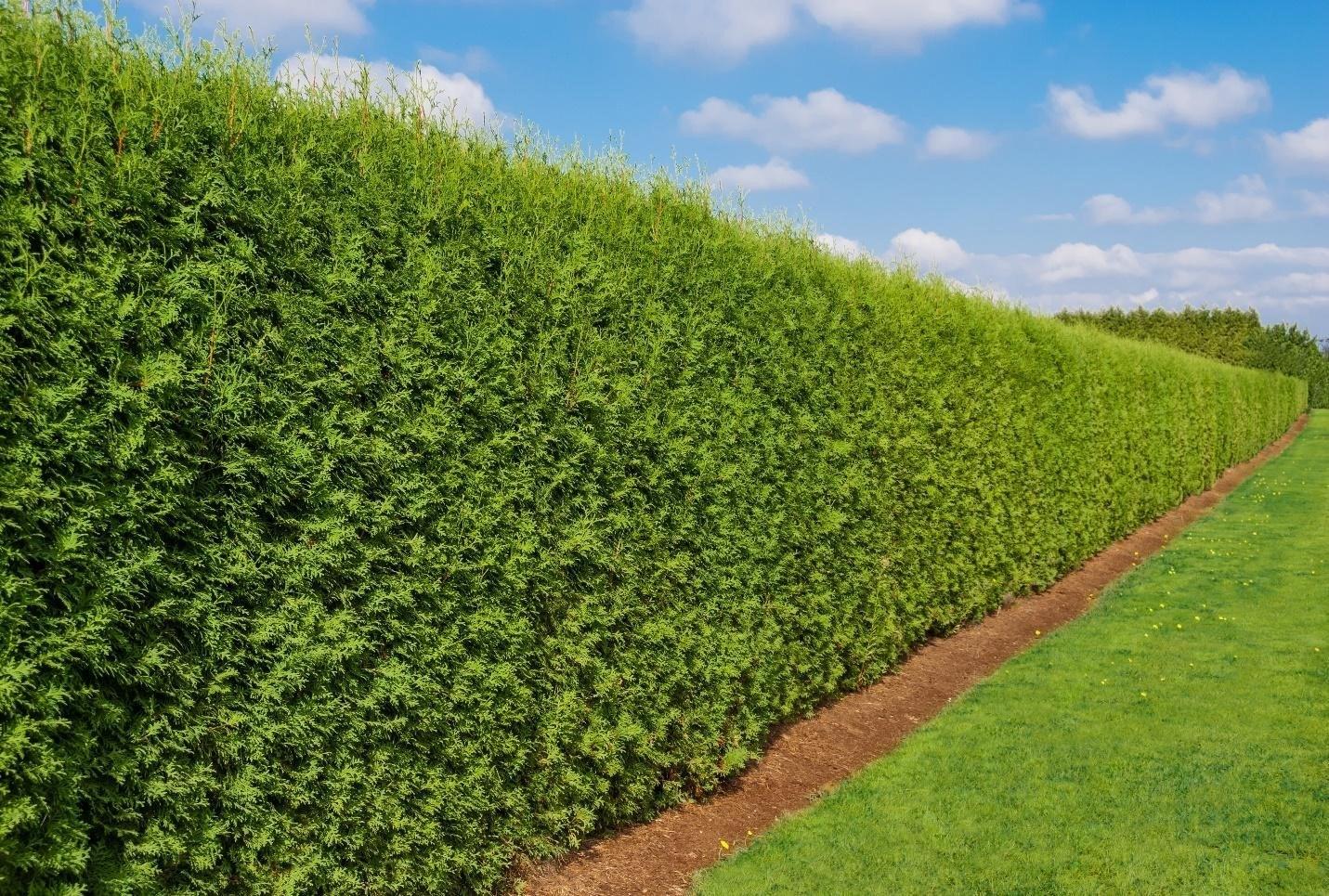 hedge-2