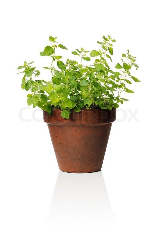 oregano-pot