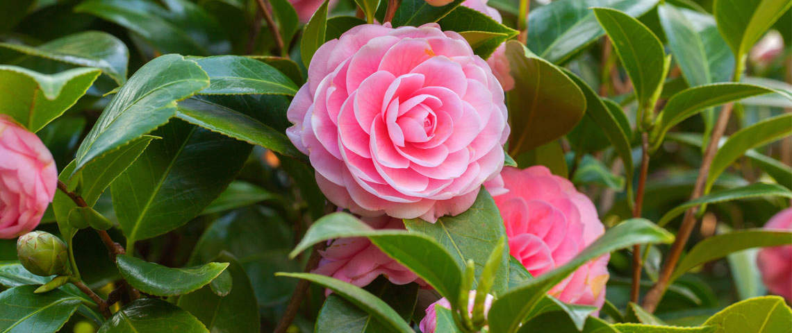 fertilizing-camellias