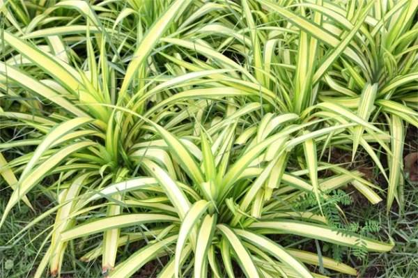 tips fertilizing spider plants