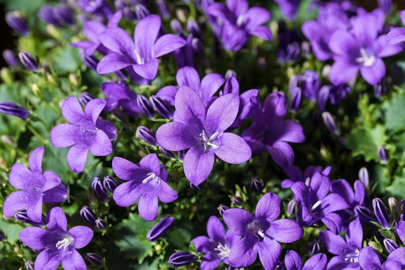 20 gorgeous purple perennials