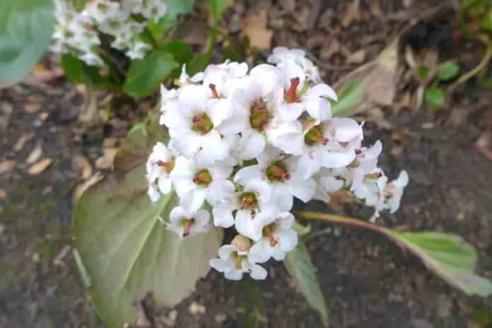 Bressingham-White-Bergenia