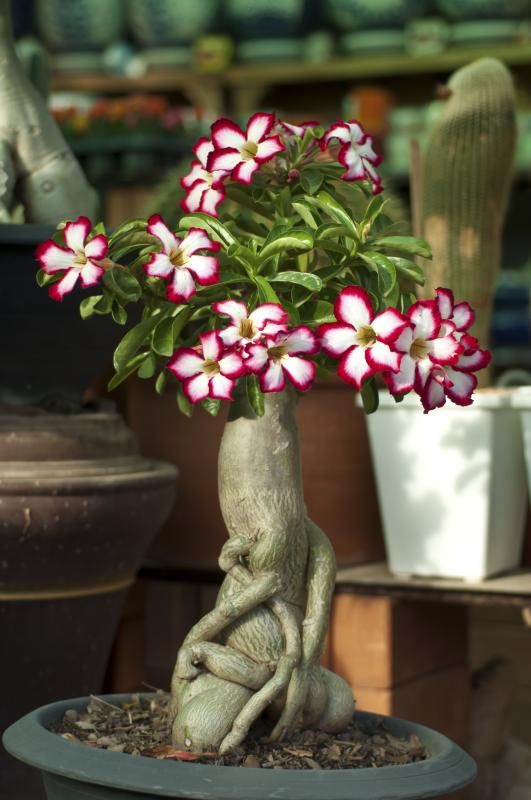 Desert Rose Plant List Of Types With Care Instructions