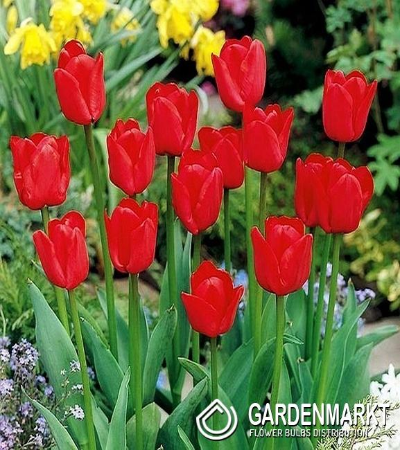 Tulpe Rot 100 St  Gardenmarktde