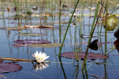lotus on okavango
