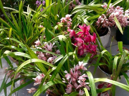 orchidsJune