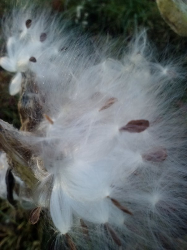 Milkweed gone to seed