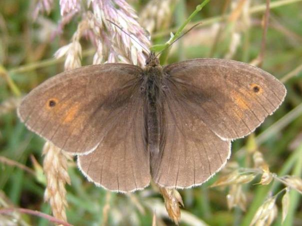 butterfly_meadow_brown_maniola_jurtina_03-07-04_1
