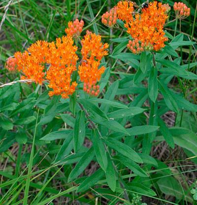 milkweed- orangeasclepiastuberosa_sa_1_lg_0 (1)