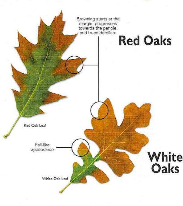 Oak-wilt-in-Fredericksburg-Tx-and-the-Texas-Hill-Country