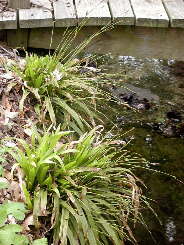 Carex-plantaginea