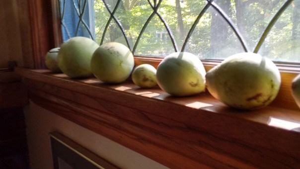 pawpaw-ripening