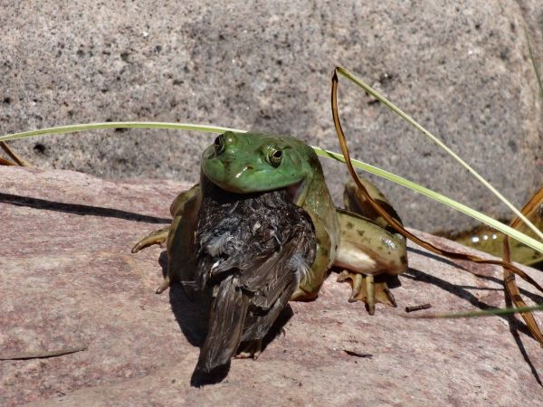 20 Frog Eating Chicken Pictures And Ideas On Meta Networks