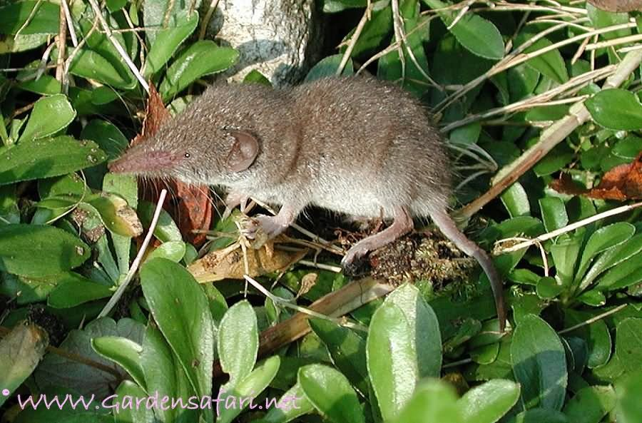 Greater white toothed shrew
