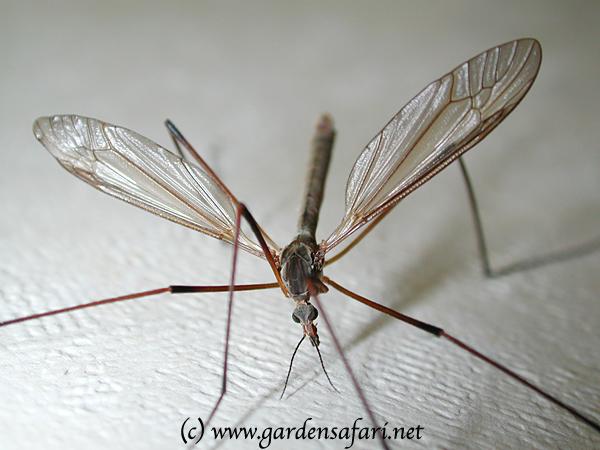 https://i0.wp.com/www.gardensafari.net/pics/vliegen/muggen/tipula_paludosa_ha0_1986.jpg
