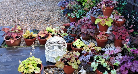 Heuchera Garden Photo