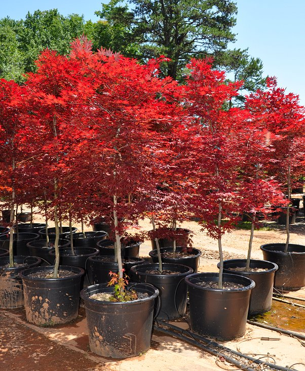 Fireglow Japanese Maple Acer palmatum