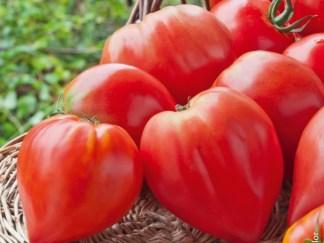 Tomates Cœur de Bœuf normale