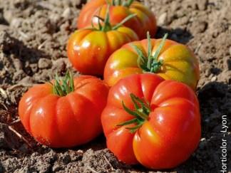 Tomates Marmande normale