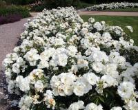 White Flower Carpet Roses - Carpet Vidalondon