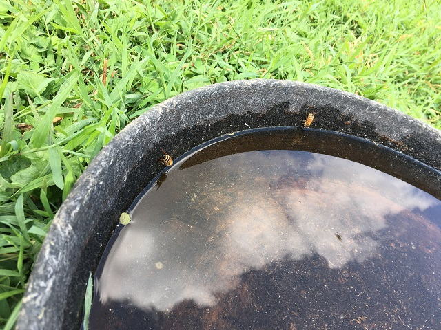 Honeybees drinking from the rubber chicken water bowl