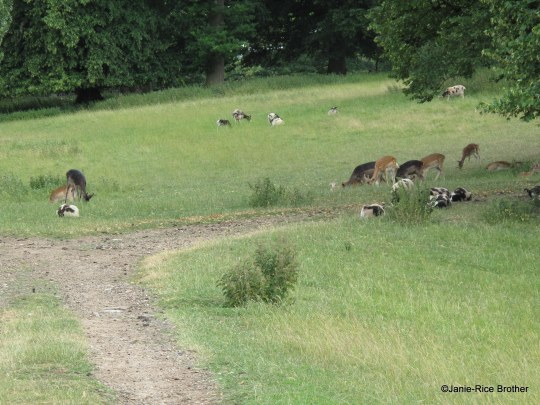 The herd of Fallow deer (some 180 strong) at the Park, along with some of the rare-breed Jacob sheep (around 170 of them). George Lucy introduced Jacob Sheep to England in 1756, and the flock at Charlecote is one of the largest in the country.